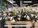 Agapanthus-Weiss-Blau