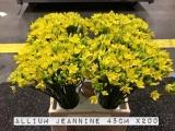 Alium-Jeannine