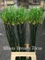 Allium-Dready