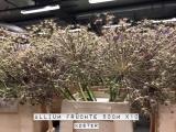 Allium-Früchte