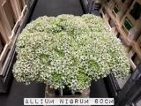 Allium-Nigrum