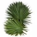Palm_Blaetter